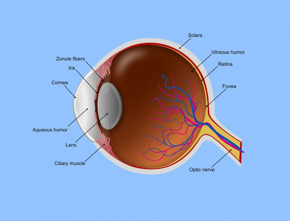 Eye anatomy_small.jpg