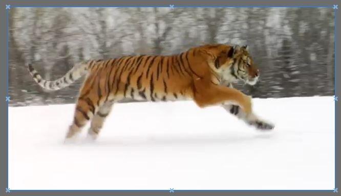 tiger-3-4.JPG.4971e5a5a967d8b9a8d1cae1fe3630a1.JPG