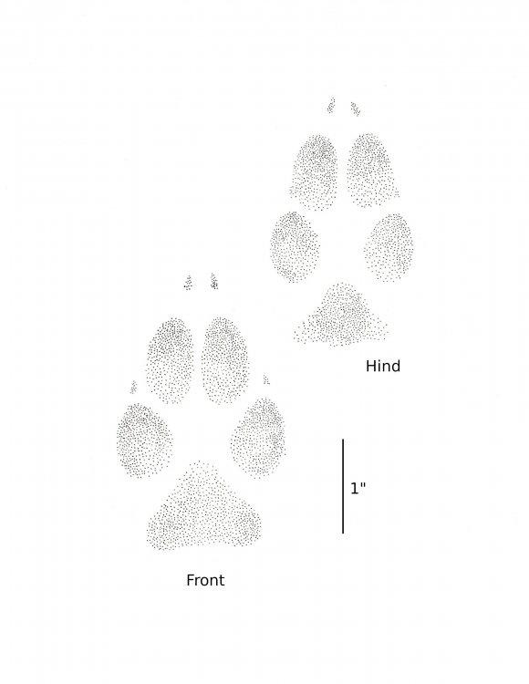 Coyote f-h.jpg