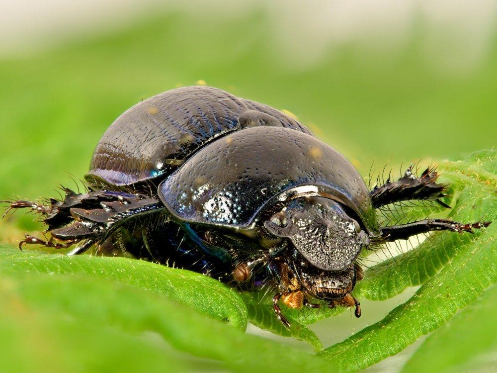 BeetleFocusStack-Small.thumb.jpg.51d3c6b9010fc9b4b8da307e3dddd169.jpg