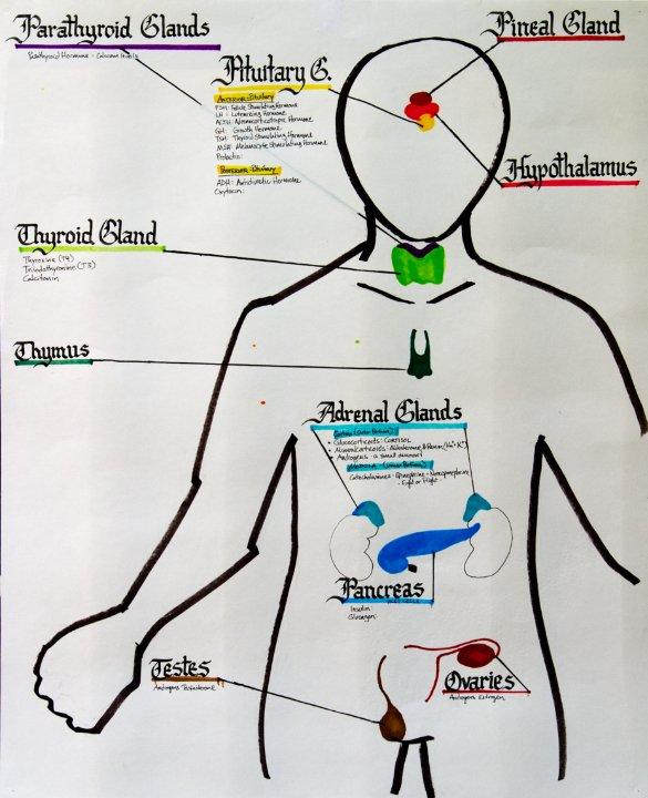 EndocrineSys.jpg