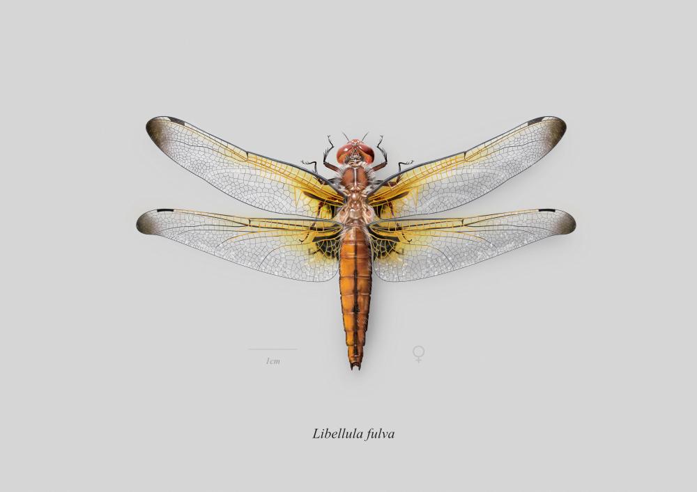 Libellula_fulva_female.thumb.png.4723a4ed534f7a33871c77ce627e5e06.png