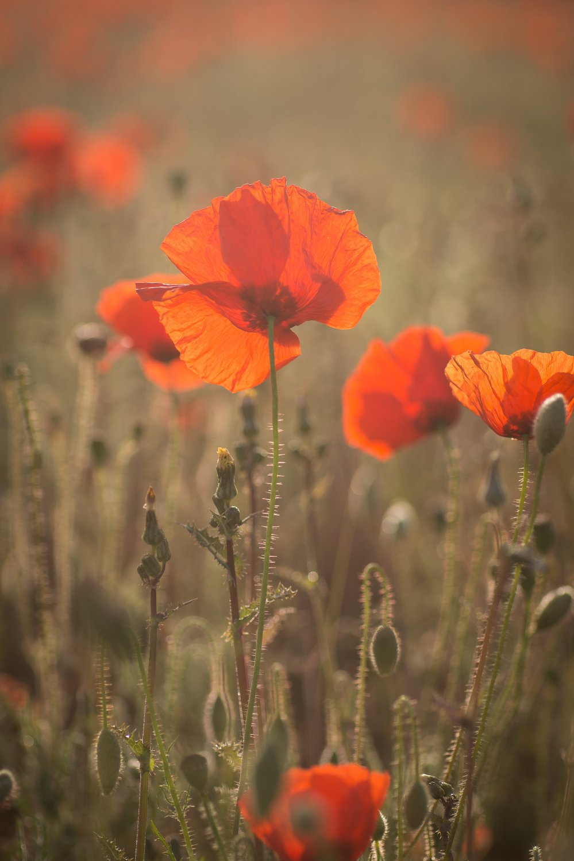 Poppies_2020-67.jpg